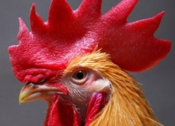 Santai, Santai iskandarX, Ayam, berak, atas, simen