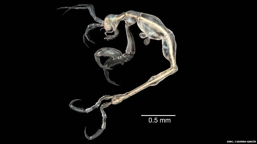 Liropus minusculus (tranlucent skeleton shrimp)