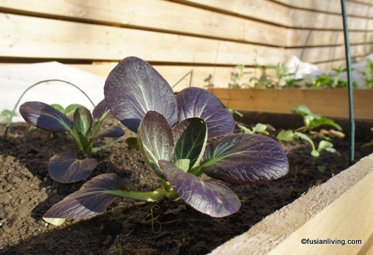 Grow Rubi Pak Choi with purple leaves