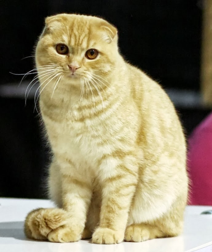 Scottish Fold Cat Size,Weight and Life Expectancy