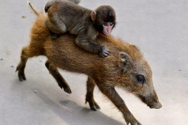 Baby Monkey Riding On A Dog White Wolf : Incredibl...