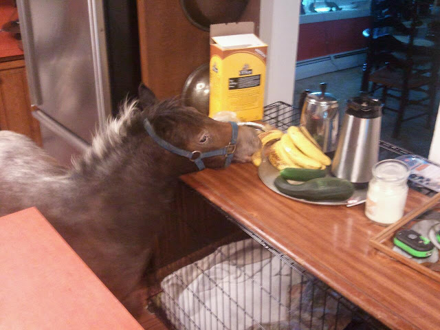funny animal pictures, mini horse in kitchen