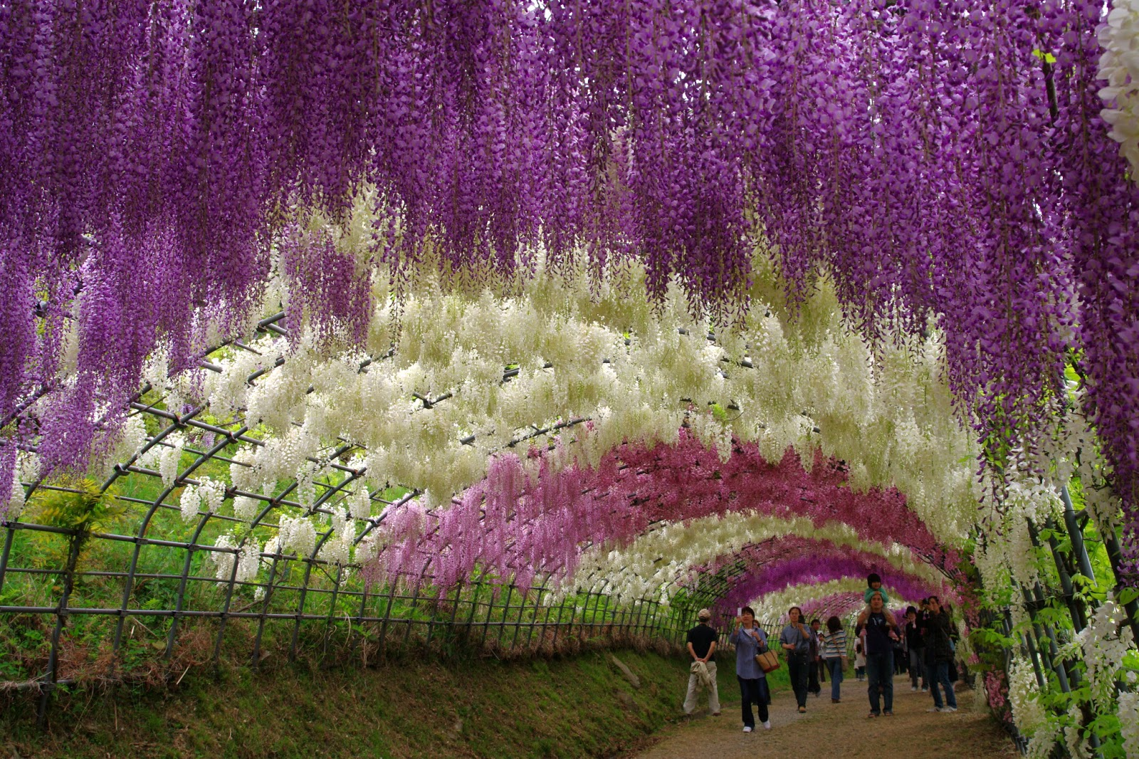 Amazing places in the world favorite asia hotel Wisteria flower tunnel path in japan