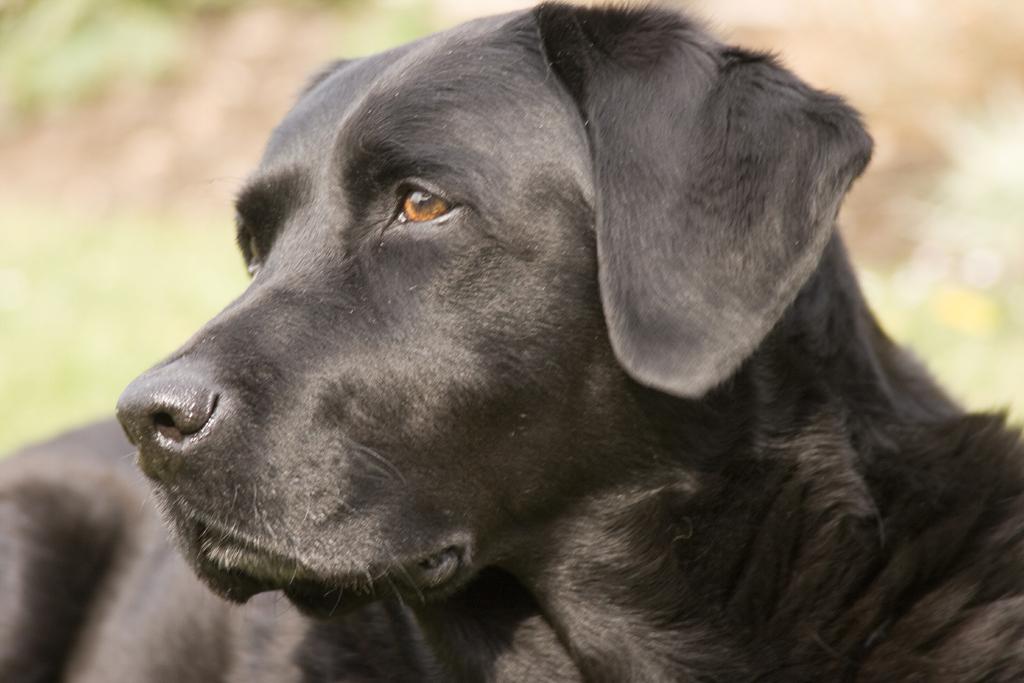 Cute Dogs Labrador Retriever Dog