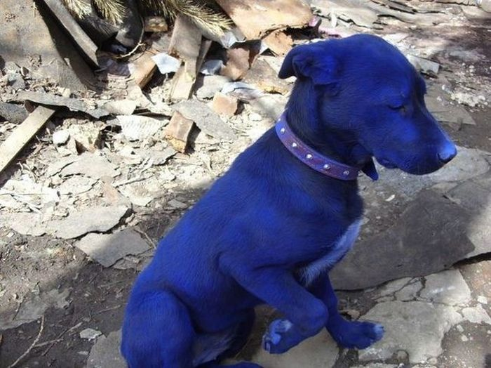 Amazing Blue Puppy Seen On www.coolpicturegallery.us