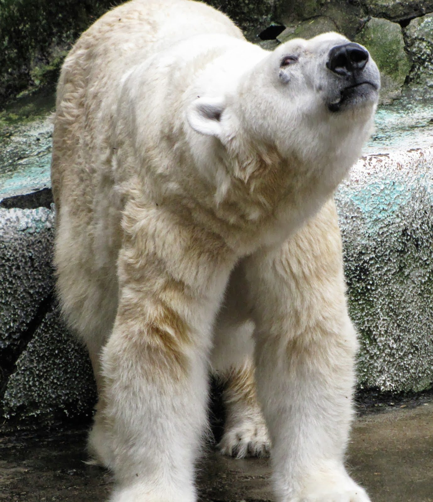 researchers bear polar how watch istock mental in tracking article russia watches bears floss are