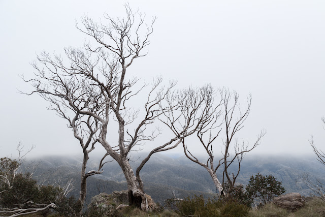 snow gum tree in mist