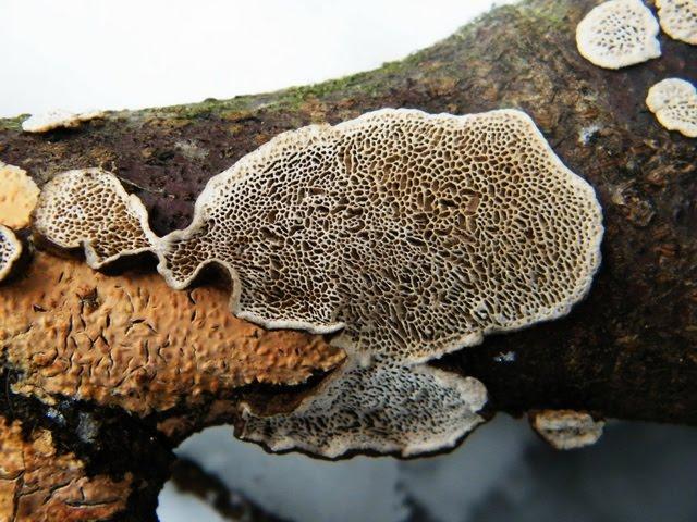 Peniophora incarnata