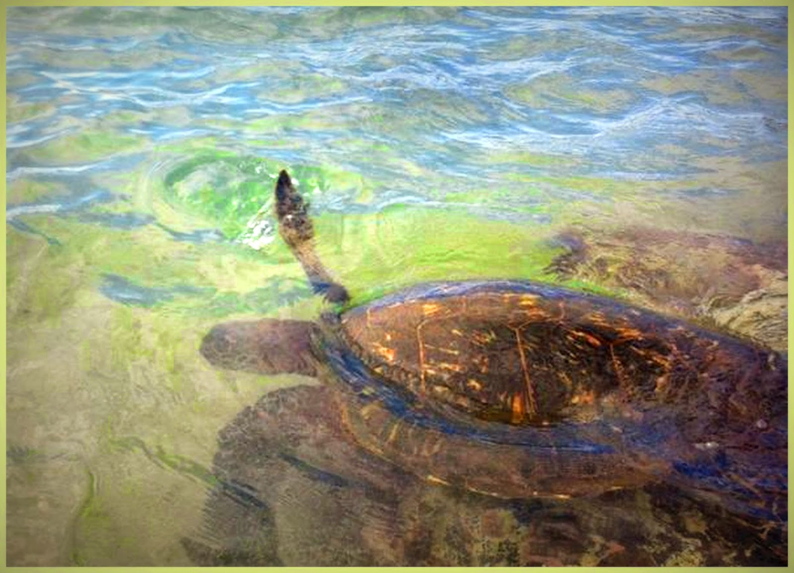 """Tortuga verde en las rocas en Mokuleia Maui"""