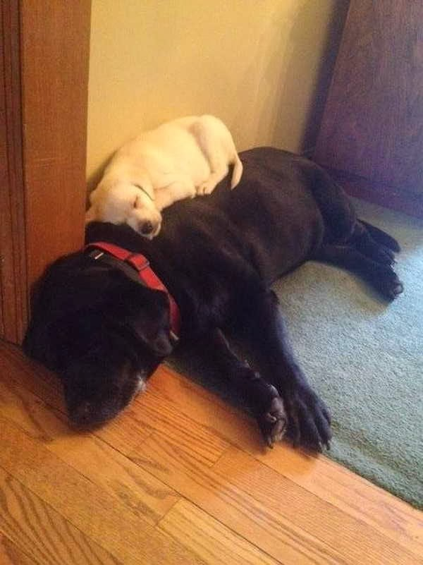Cute dogs - part 3 (50 pics), puppy sleeps on dog