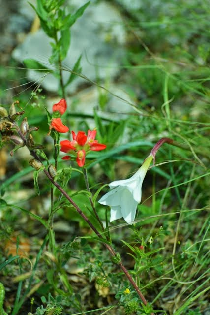 Rain Lily, Cooperia pedunculata_6314