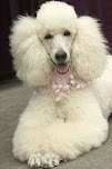 Life With A Standard Poodle! Amazing:)