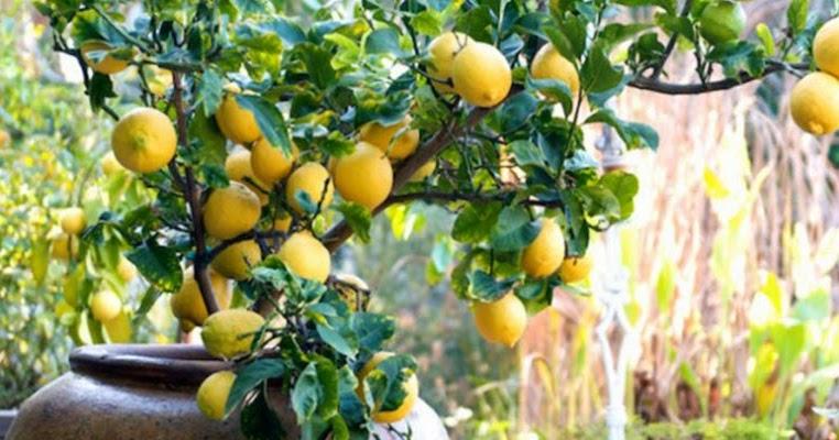 Fatto in casa come coltivare e curare una pianta di for Coltivare limoni