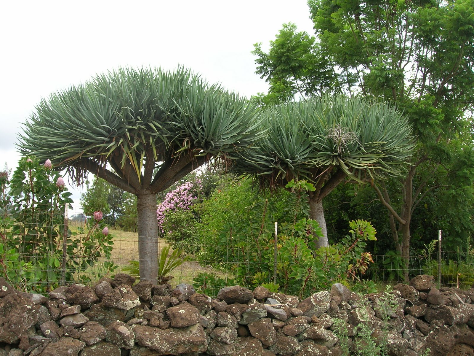 Fact about Dracaena draco