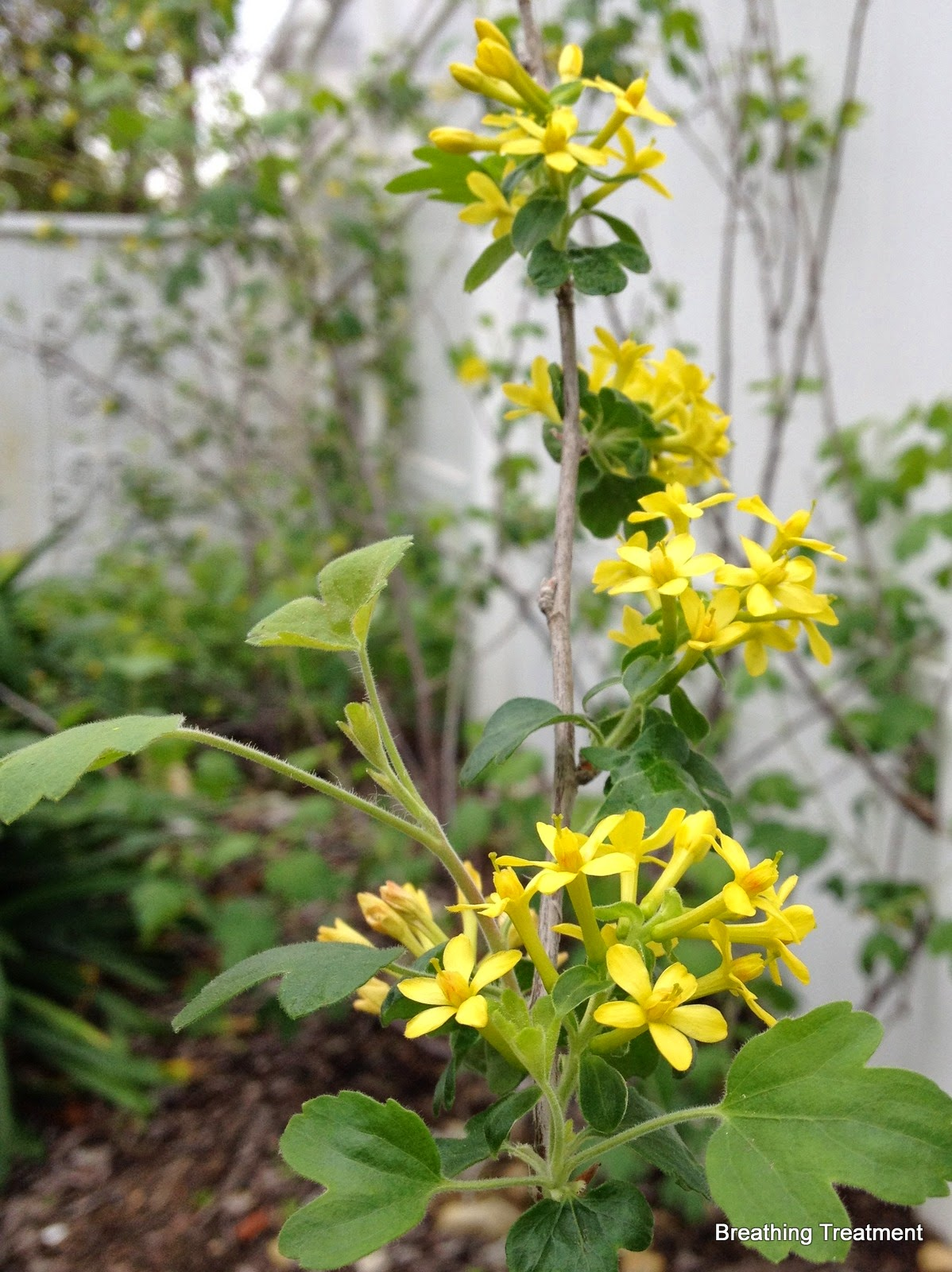 Ribes aureum gracillimum (Golden Currant)