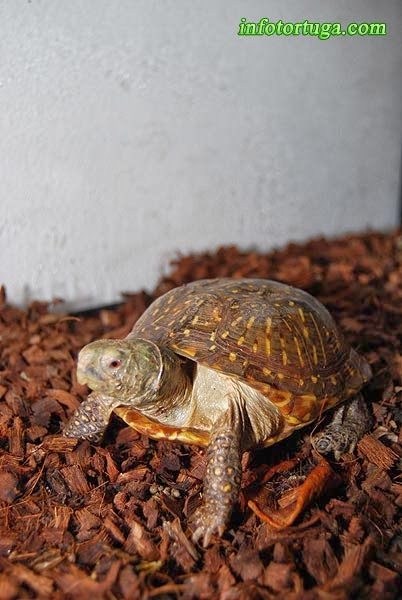 Terrapene ornata luteola - Desert box turtle