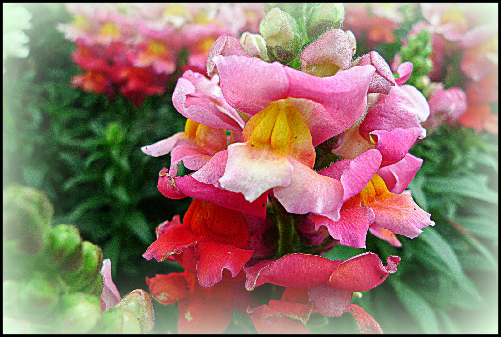 Photowannabe california winter flowers i thought i would share some of the color here in california you definitely need to enlarge these pretty flowers to get the full effect mightylinksfo