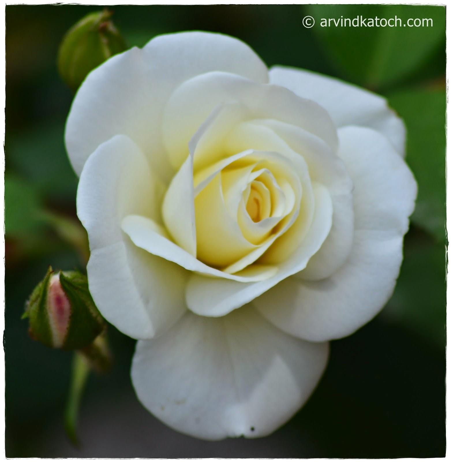 Beautiful, White, Rose, White Rose