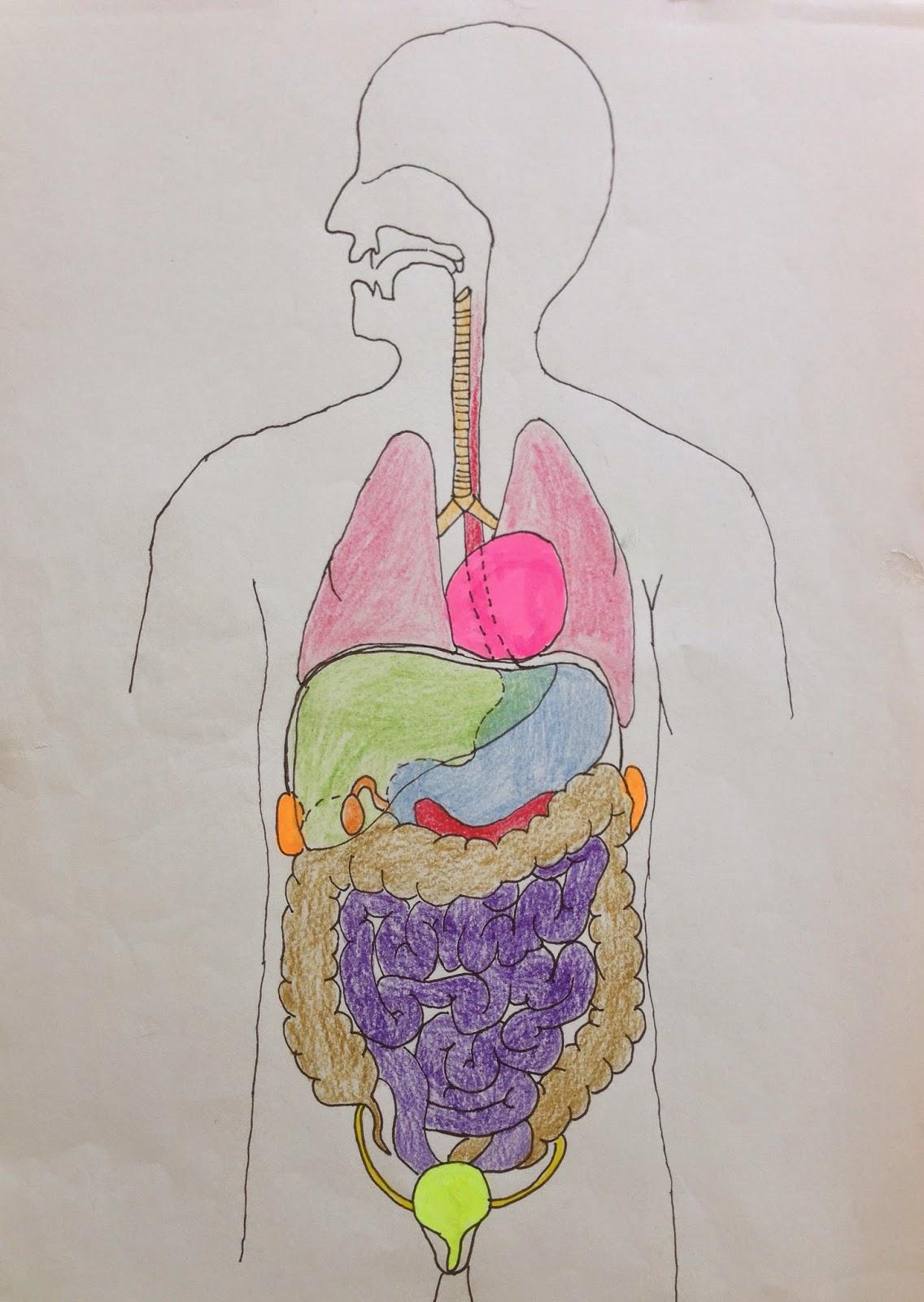 Makroskopische Darstellung der Verdauungsorgane eines Hasen | Biologie