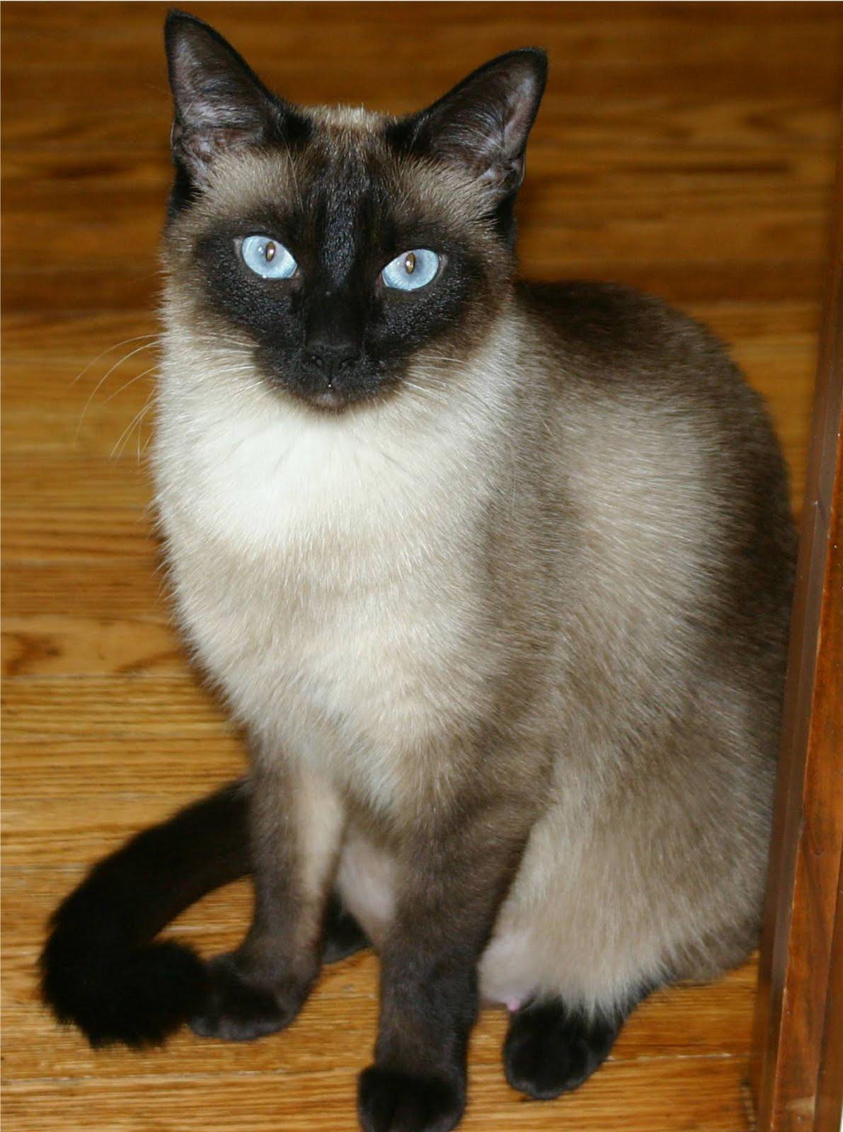 Gato Domestico (Felis Silvestris Catus)
