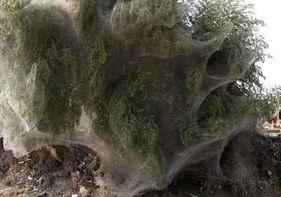 أكبر شبكة عنكبوت في العالم-الطبيعة-منتهى