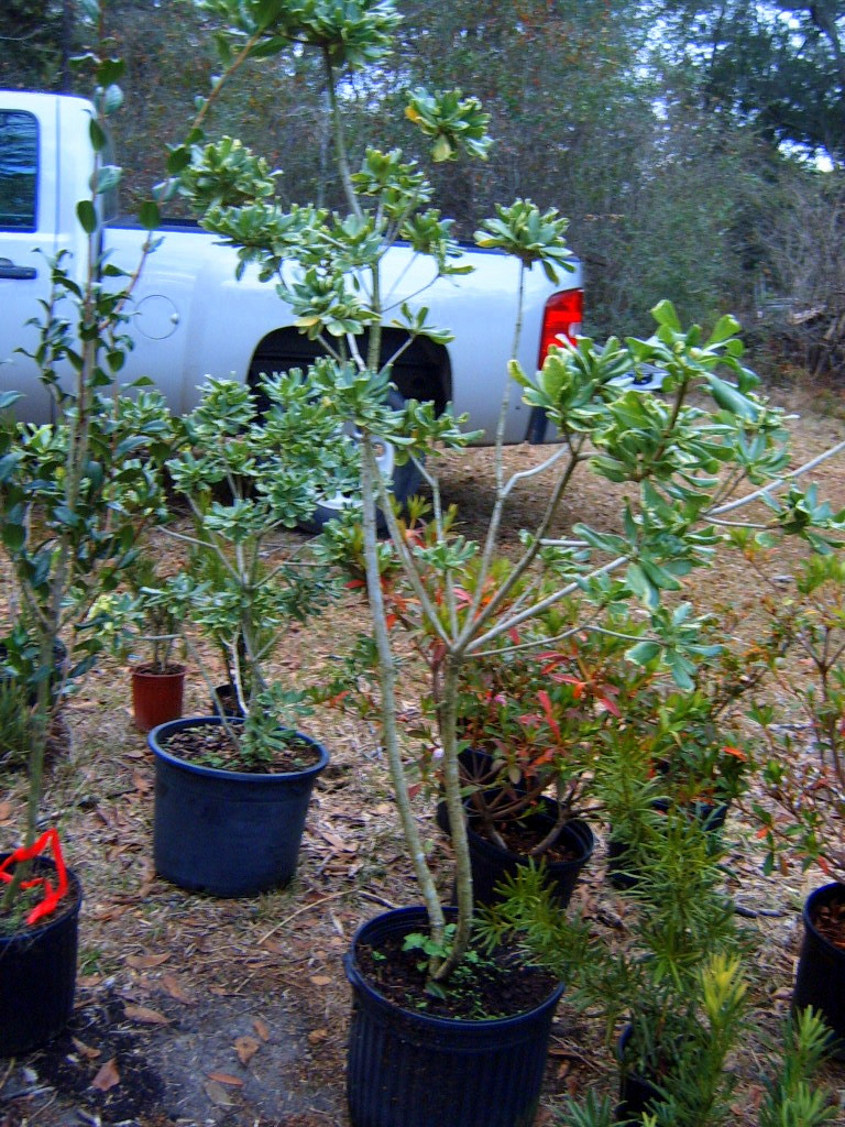 Alabama Rose And Flower Garden From A Non Green Thumb Evergreen Perennials And Ornamentals