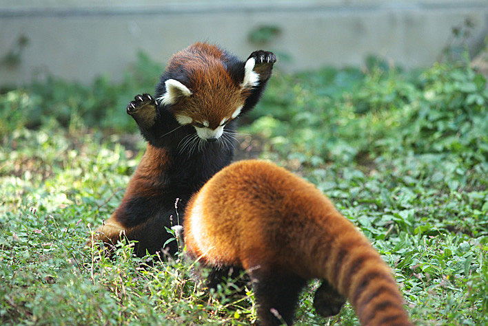 Image of: Facts With Fewer Than 10000 Animals Left Red Pandas Have Been Under Threat For Long Time Since 1965 Red Panda Numbers Have Been Steadily Declining Up To Bio227fall201508 Bio227fall201508 The Red Panda
