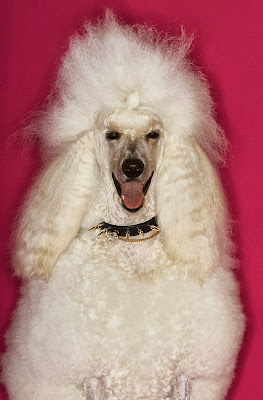 A happy white standard poodle with a spiky collar against a pink background