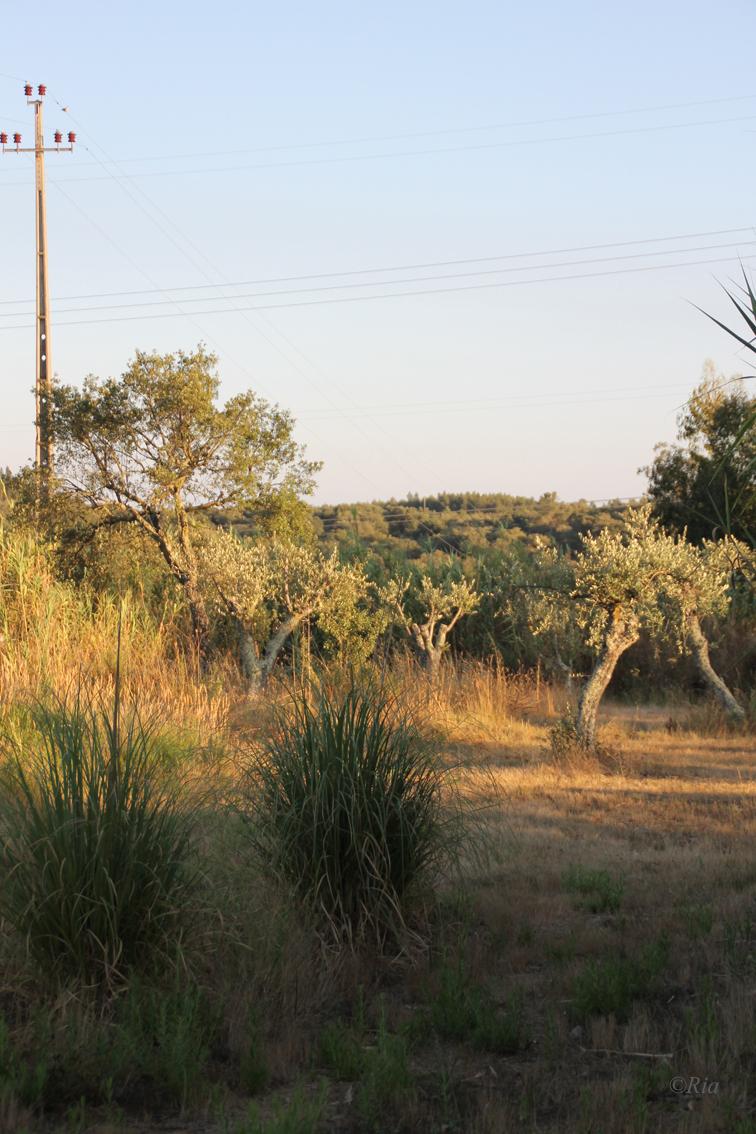 Olijfboom bij meertje van camping