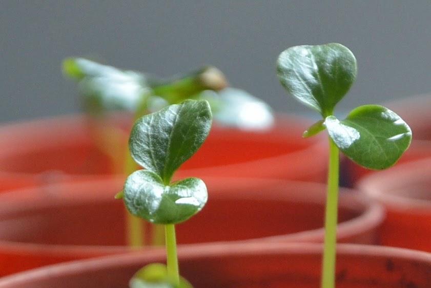 My little vegetable garden: Growing papaya, a closer look ...