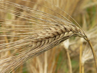 Barley (Hordeum Vulgare) Overview, Health Benefits, Side effects