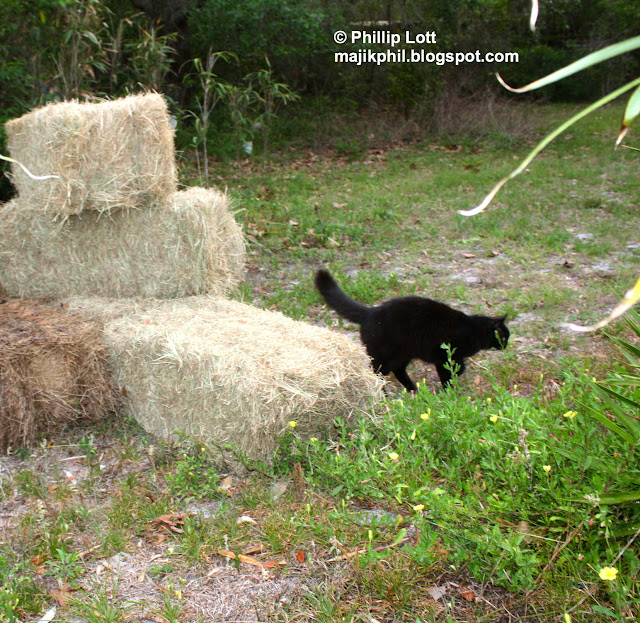 growing plants in hay bales ... hay one of the black cats comes along and sprays on the bales. Nice