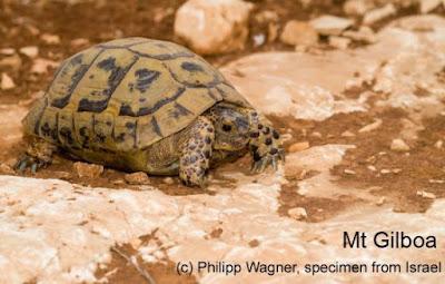 Mediterranean Spur thighed Tortoise