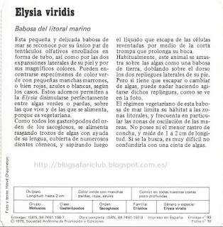 Blog Safari club, características de la Elysia viridis