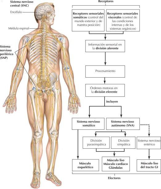 Sistema nervioso: organización   Netter Blog