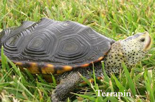 Caring and Handling for Terrapin