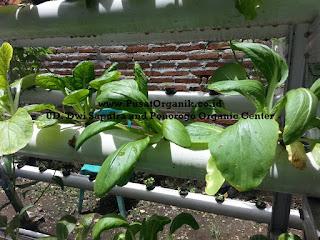 Budidaya Sayur Sawi Sendok secara Hidroponik Organik