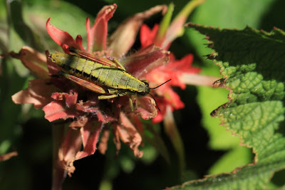 Grasshopper on Indian Paintbrush