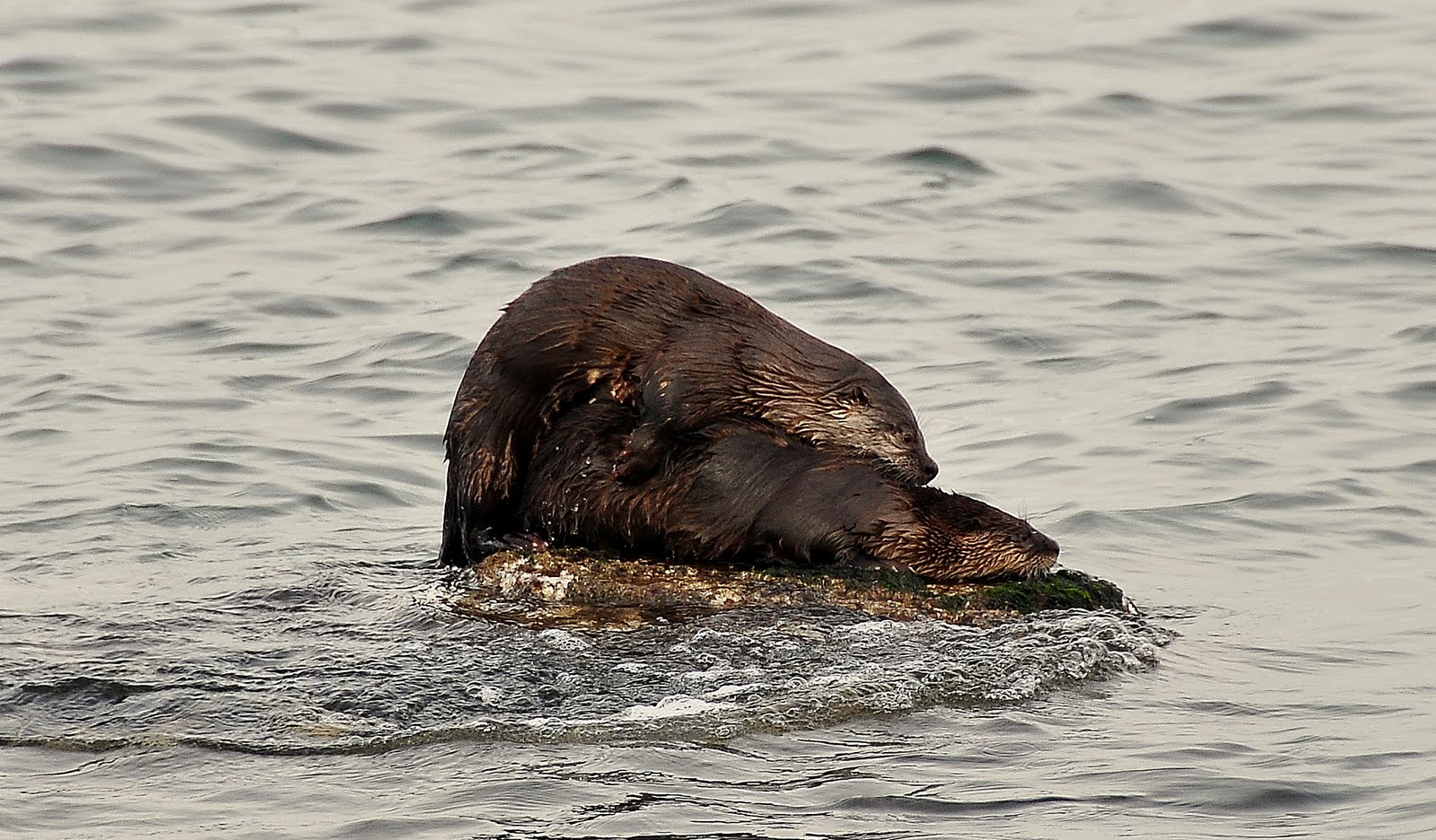 otters are legally hunted trapped in washington state while sea otters ... Otter Sounds