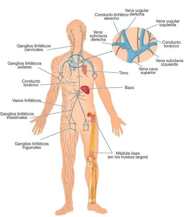 Resultado de imagen para sistema linfatico