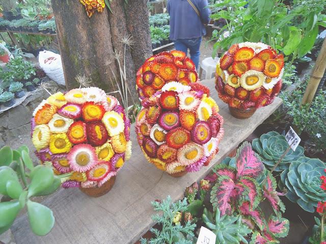 Baguio City, Cactus, Bonsai, Goodluck Plant, Sunflower, Everlasting,