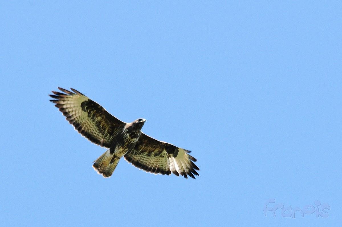 Ratonero común (Buteo buteo) Common buzzard