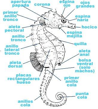Caballito De Mar Seahorse Los Animales Acuáticos The Aquatic Animals