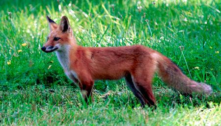 Έβρος: Κίνδυνος εξάπλωσης της επιδημίας λύσσας!