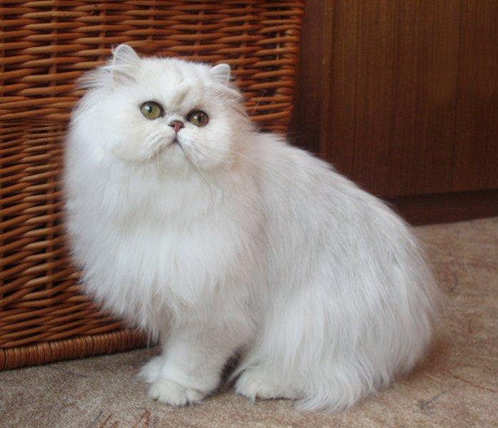 Persian chinchilla cat singapore