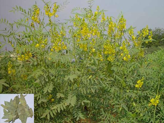 Cassia angustifolia Vahl (Fam. Fabaceae)