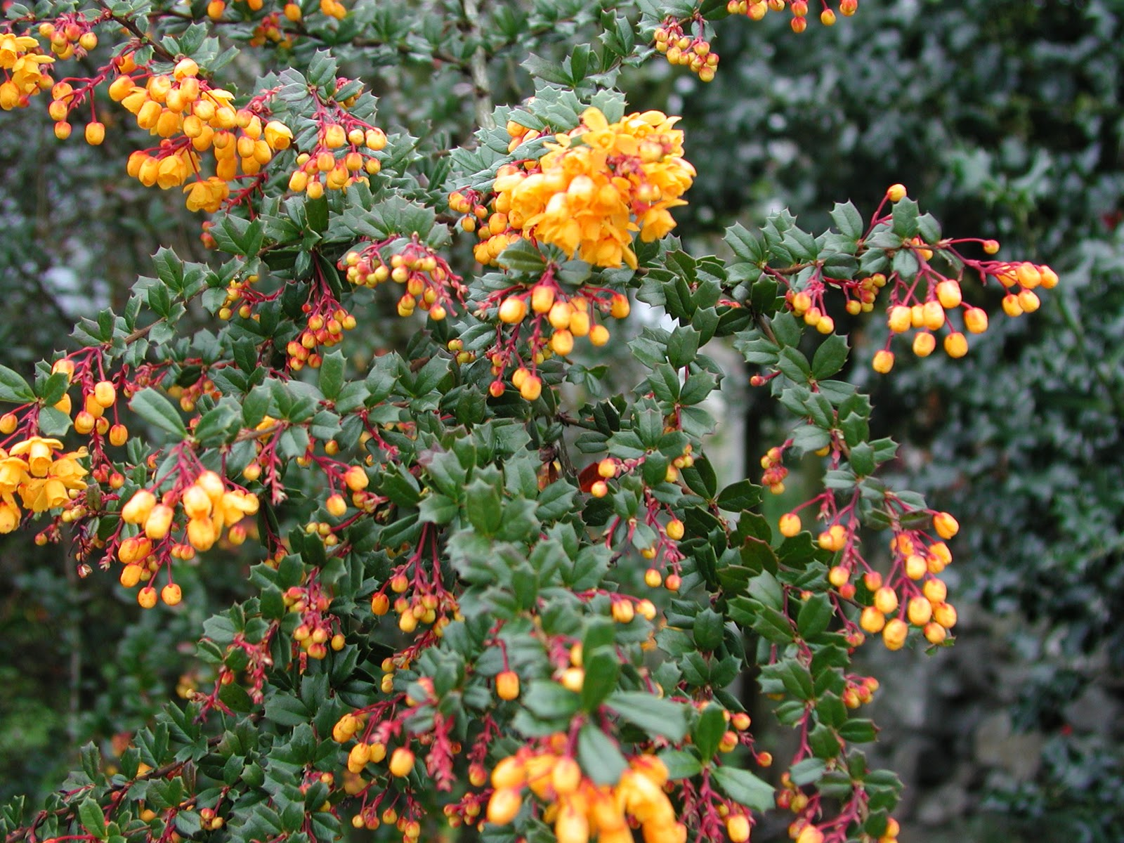Cultus bay nursery berberis corylopsis osmanthus for The evergreen