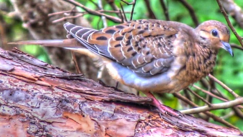 Mourning Dove in Forest