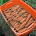 How to harvest and store carrots #vegetable_gardening