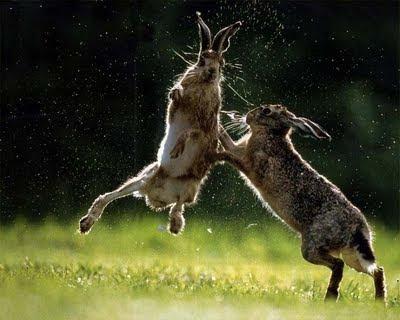 conejos+peleando+muy+lindos Imagenes de conejos..